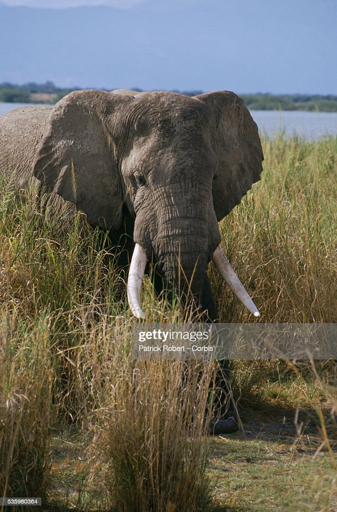 An African elephant walks through the tall grass of Virunga National Park. This elephant and others in its herd are part of a training experiment in the park.