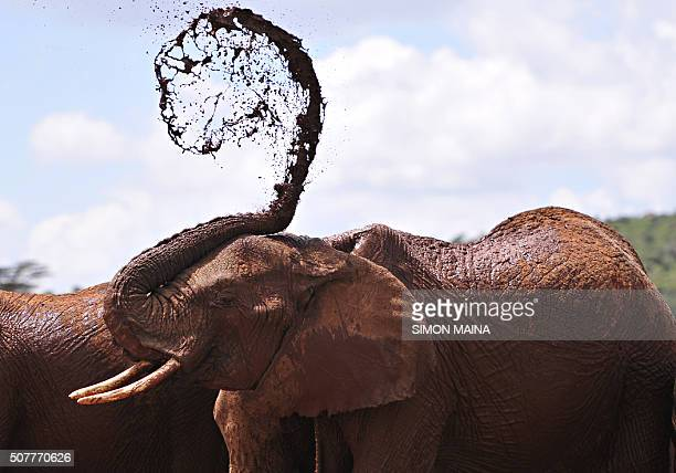 TOPSHOT An African elephants throws mud onto himself at the Mpala Research Center and Wildlife Foundation near Rumuruti Laikipia District Kenya on...