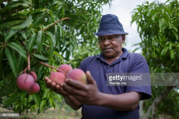 An African farmer examines ripening mango fruits on a tree on May 19 2017 in Ithanka Kenya