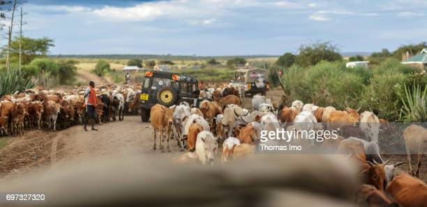 An African farmer is driving his cattle herd over a busy country road on May 17 2017 in Talek Kenya