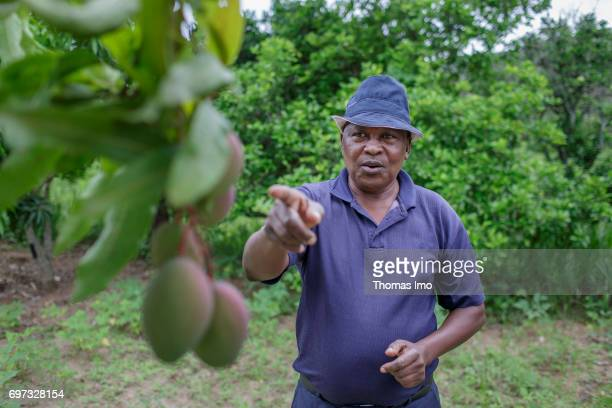 An African farmer points on ripening mango fruits on a tree on May 19 2017 in Ithanka Kenya