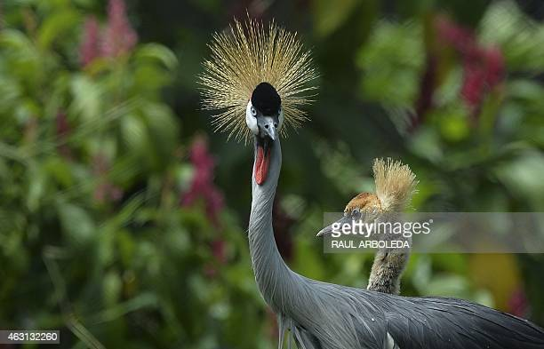 An African gray crowned crane an endangered species and her twomonth old baby are seen at the Santa Fe zoo in Medellin Antioquia department Colombia...