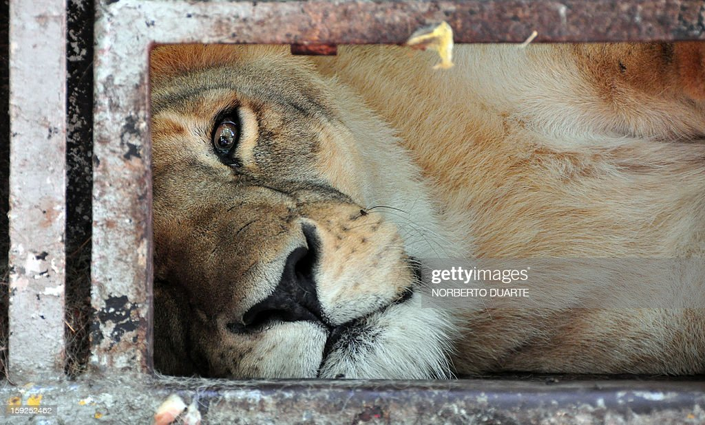 An African lioness --of a group of seven-- remains in a cage in a zoo in Asuncion on January 10, 2013. An environmental district attorney ordered the seizure of the nine Bengala tigers and seven African lions from an Argentine circus, which had been taken to the zoo on August 2012, as they had no sanitary visa to legally enter the country. AFP PHOTO/Norberto Duarte