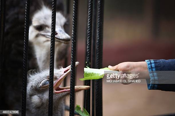 An African ostrich is fed at the Giza zoo in Cairo on December 10 2014 Khedive Ismail the ruler of Egypt from 18631879 built the zoo and planned the...