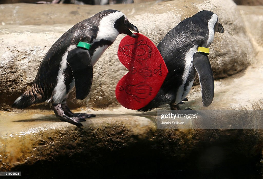 An African Penguin holds a Valentine's Day card at the California Academy of Sciences on February 13, 2013 in San Francisco, California. In honor of Valentine's Day, the colony of African Penguins at the California Academy of Sciences received heart-shaped red valentines with hand written messages from Academy visitors.