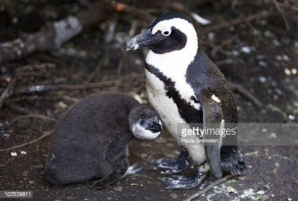 An African penguin mother protects her baby inside the breeding area at the penguin colony June 28 2010 in Simon's Town South Africa The vulnerable...