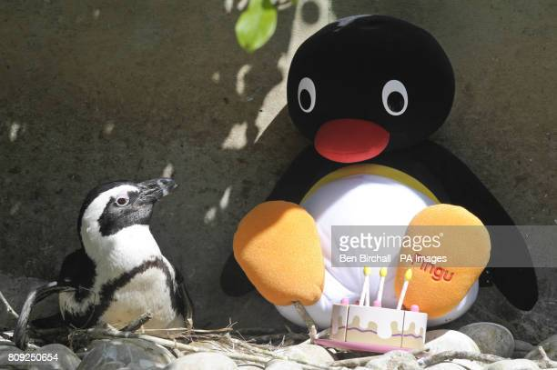 An African penguin sits with a stuffed Pingu toy in the penguin enclosure at Bristol Zoo Gardens as the animated cartoon character celebrates his...
