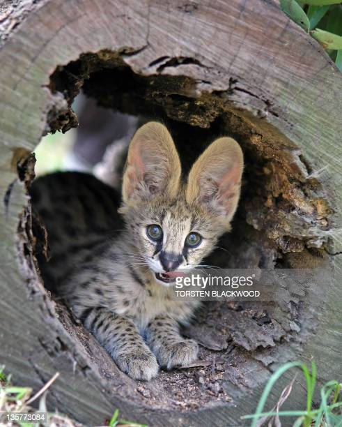 An African serval kitten peers out from a hollow log after being successfully bred as part of the Mogo Zoo's internationally renowned breeding...