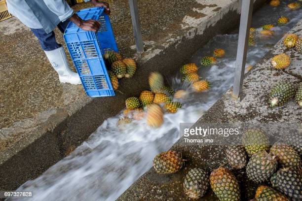 An African worker empties boxes full of pineapples into a water channel Production of pineapple juice at beverages manufacturer Kevian Kenya Ltd on...