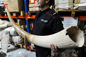 An agent of the French Customs holds aposes on April 5 2012 at Roissy CharlesdeGaulle international airport outside Paris near an elephant tusk part...