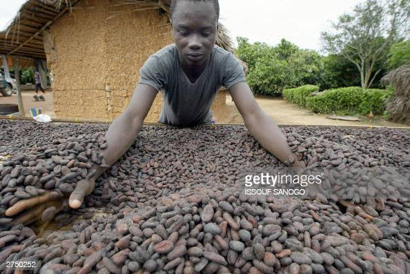 An agricultural worker prepares cocoa beans 18 November 2003 in Akati a small Ivorian village where a profitable black market is fetching 625 FCFA...