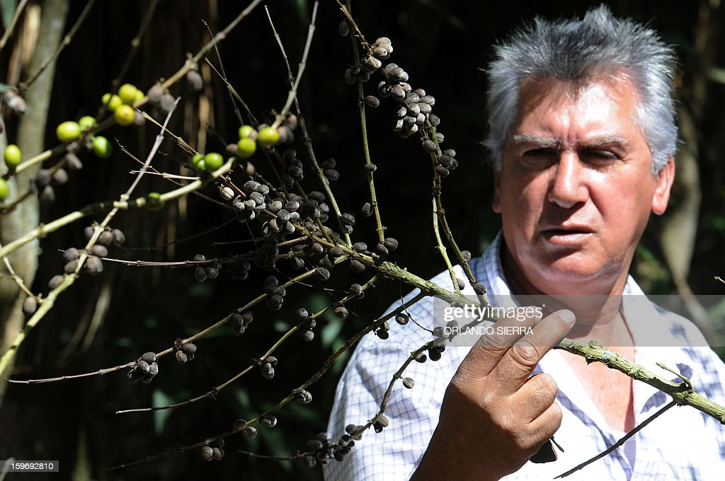 An agriculturist looks at damages caused by Roya blight at Finca Santa Elena, in the department El Paraiso, 110 kms east of Tegucigalpa, on Januray 17, 2013. Central America, one of main producers of the best Arabica Coffee, is analyzing to take measures to combat the plague already threatening more than one third of the bean crop, one of the region's major export item. AFP PHOTO/Orlando SIERRA
