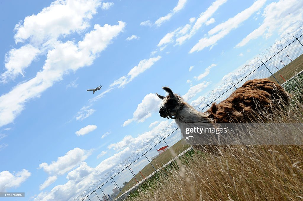 An airplane flies over the head of a llama used to keep the grass cut at Chicago's O'Hare airport on August 13, 2013. The airport authority has hired a crew of 25 llamas, donkeys, goats and sheep to help it maintain its sprawling grounds in order to keep wildlife away from the tarmacs. AFP PHOTO / Mira Oberman