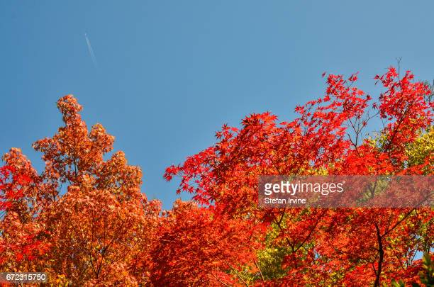 TEMPLE KYOTO KANSAI JAPAN An airplane with contrails passes high over the leaves on a Japanese maple tree which have turned bright red during the...