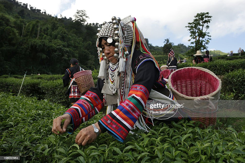 An Akha Hilltribe woman picks Oolong #17 tea leaves during a harvest at the Suwirun Tea farm in the hills outside of Chaing Rai November 11, 2012 in Chiang Rai, Thailand. There are around 40 Akha hill tribe workers and 120 Burmese making 300 Bhat a day working on the family run Suwirun Organic tea farm. The farm has been in business around 38 years. The Tea is harvested every 45 days; collecting about 1.5 tons on average per harvest. On special occasions the Akha wear their traditional dress while picking tea. These days it is most commonly worn for tour groups and ceremonies.