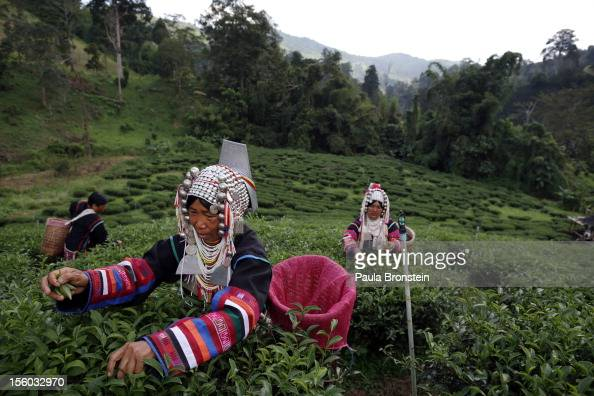 An Akha Hilltribe woman picks Oolong tea leaves during a harvest at the Suwirun Tea farm in the hills outside of Chaing Rai November 11 2012 in...