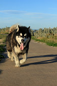 An alaskan malamute walking towards the camera