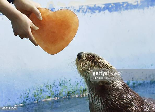 An Alaskan sea otter is given a heartshaped block of ice presented by his keeper inside its enclosure in the aquarium of an amusement park in...