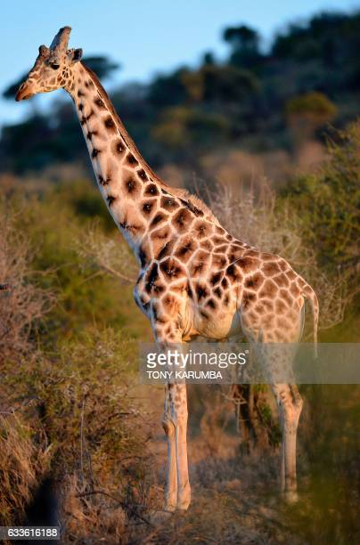 An albinic reticulated wild giraffe is pictured on Januray 25 2017 at dawn at the Loisaba wildlife conservancy in northern Laikpia where wildlife is...