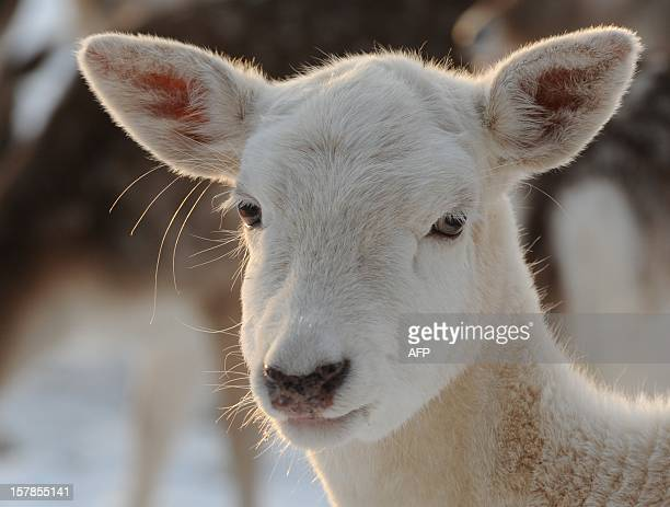 An albino fallow deer is seen on December 7 2012 at a outdoor enclosure in Niendorf Hamburg northern Germany Meteorologists forecast temperatures...