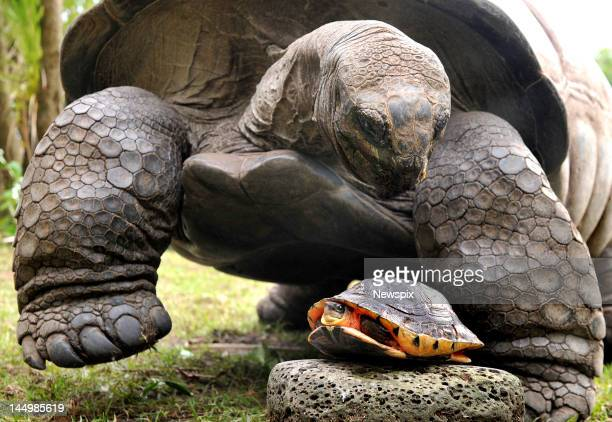 An Aldabra Giant Tortoise and a Golden Coin turtle pictured at Melbourne Zoo on May 18 2012 in Melbourne Victoria to promote International Turtle Day