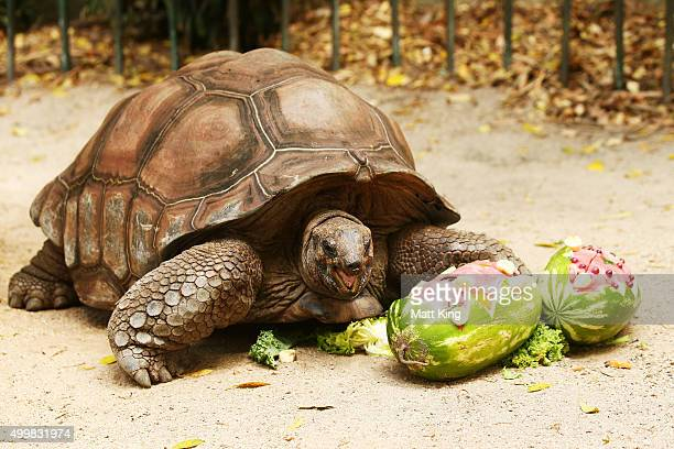 An Aldabra Giant Tortoise eats at Taronga Zoo on December 4 2015 in Sydney Australia Taronga's animals were given special Christmasthemed enrichment...