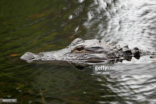 An alligator in the water during the RBC Heritage ProAm at Harbour Town Golf Links on April 16 2014 in Hilton Head Island South Carolina