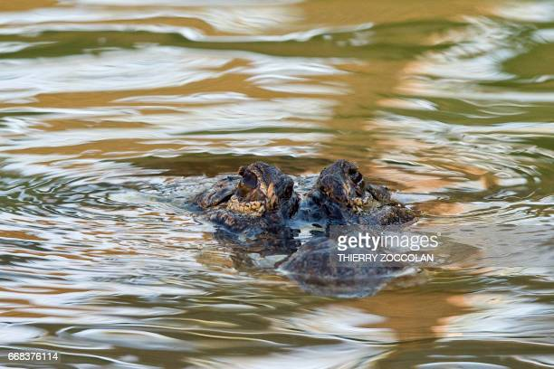 An alligator is pictured at the PAL theme and animal park in SaintPourcainsurBesbre on April 12 2017 The PAL theme park is opening in 2017 an...