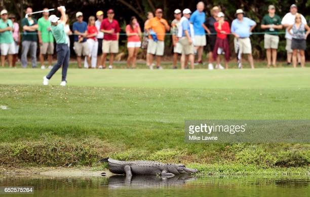 An alligator lies near the third fairway as Patrick Cantlay plays a shot during the final round of the Valspar Championship at Innisbrook Resort...