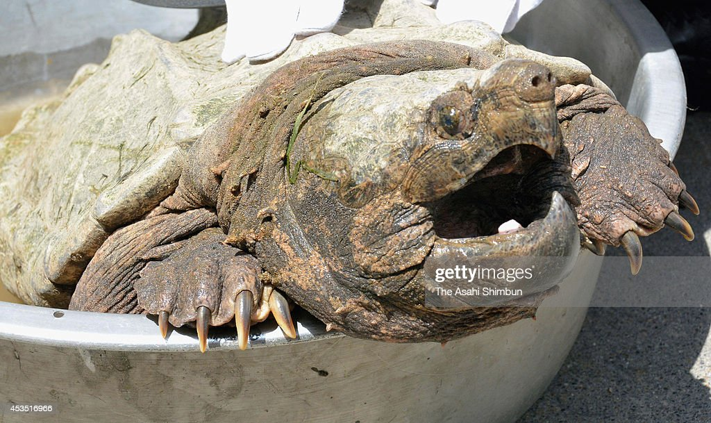An alligator snapping turtle is seen on August 11, 2014 in Kyoto, Japan. The turtle was found at the bank of Katsuragawa River after floodwater receded.