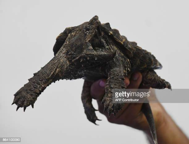 An Alligator Snapping Turtle that was intercepted when an attempt was made to smuggle it from the US is displayed during an Operation Jungle Book...