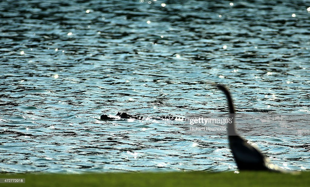 An alligator swims past a bird on the 18th hole during round three of THE PLAYERS Championship at the TPC Sawgrass Stadium course on May 9, 2015 in Ponte Vedra Beach, Florida.