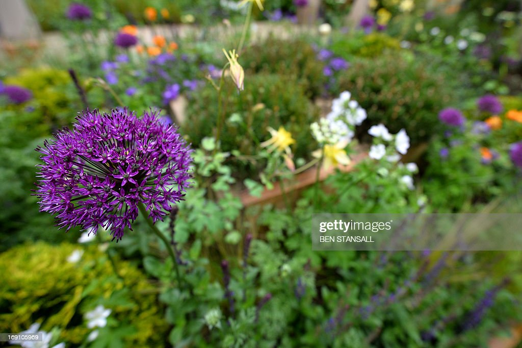 An Allium flower is seen during the Chelsea Flower Show press day in London on May 20, 2013. The world-famous gardening event run by the Royal Horticultural Society (RHS) is celebrating its centenary year. AFP PHOTO / BEN STANSALL