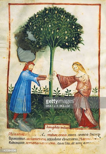An almond tree miniature from the Tacuinum Sanitatis Italy 15th Century