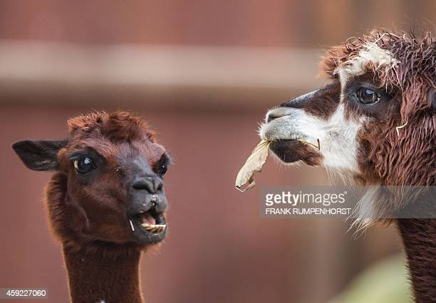 An alpaca chewing a leaf is pictured on November 18 2014 in the zoo of Frankfurt am Main Germany AFP PHOTO / DPA / FRANK RUMPENHORST / GERMANY OUT