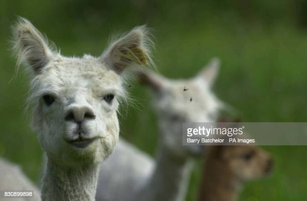 An Alpaca owned by Ben Harford who lives near WottonunderEdge Gloucestershire When investment banker Harford decided to leave his job and return to...