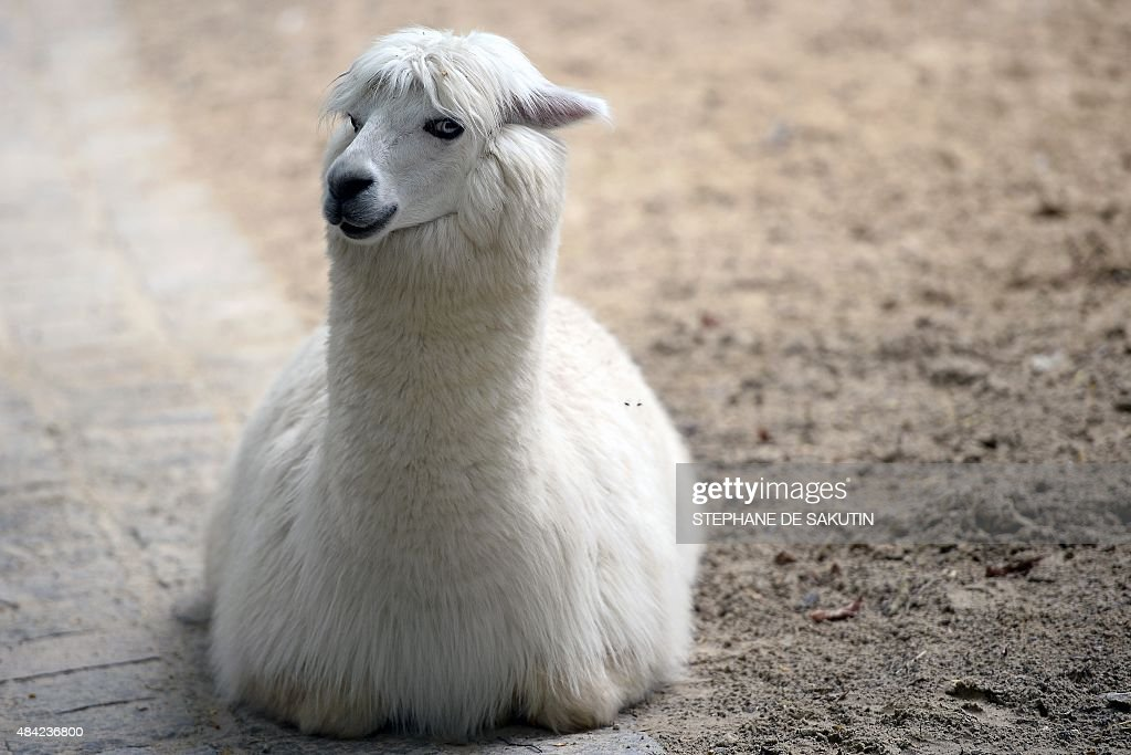 An Alpaga is pictured on August 16 2015 at the menagerie of the Jardin des Plantes botanical garden in Paris The menagerie created in 1794 is one of...