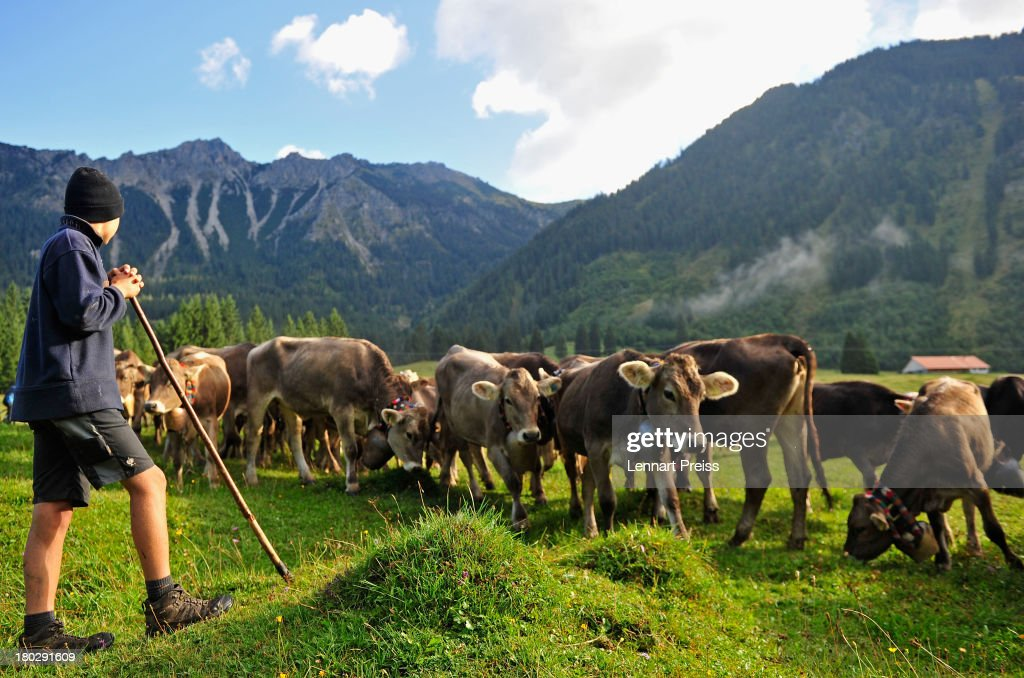 An alpine cattle herder escort cows down into the valley during the annual Viehscheid cattle drive on September 11, 2013 near Bad Hindelang, Germany. The herders lead the cattle in May or June up into the Bavarian Alps to spend the summer grazing on alpine meadows and lead them back down to farms in the valley in September. If all the animals survive the summer then the herders place a flower wreath around the lead cow for the descent.