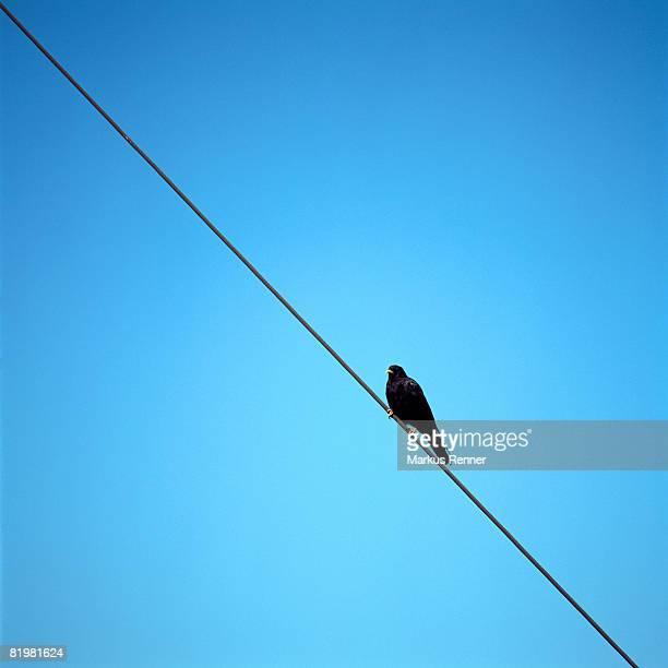 An Alpine Chough (Pyrrhocorax graculus) on a telephone wire, Traunstein, Salzkammergut, Austria