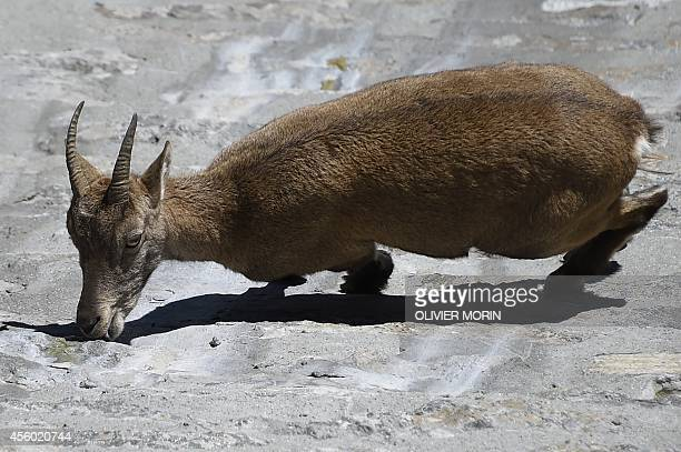 An Alpine Ibex a species of wild goat that lives in the mountains of the European Alps licks stones on a vertical dam at the lake Cingino at 2200 m...