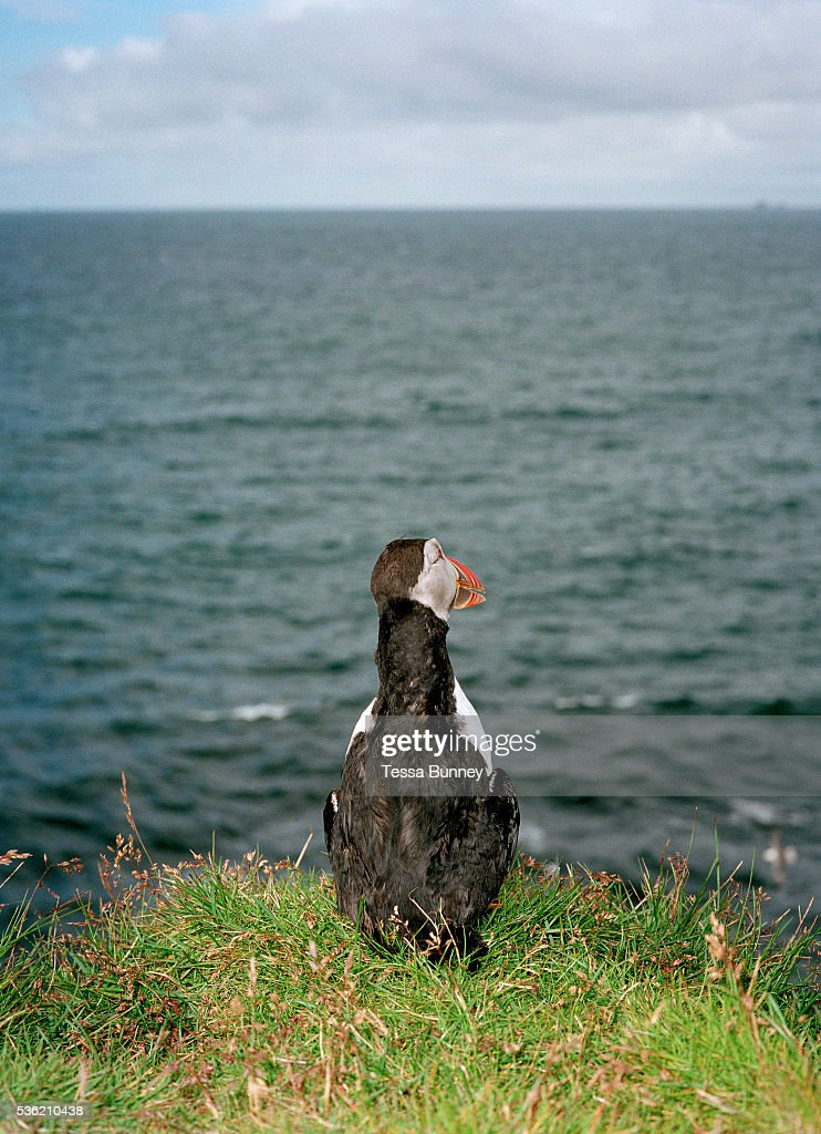 An already caught puffin is propped up with a stick as a decoy to encourage other puffins to come closer Puffin hunting has been of major importance...