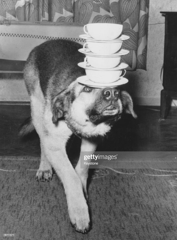 An Alsatian dog balancing four cups and saucers on its head.