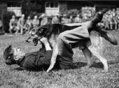 An alsatian dog manhandling an 'attacker and thief' during a demonstration Photograph 1936 Photo by Austrian Archives