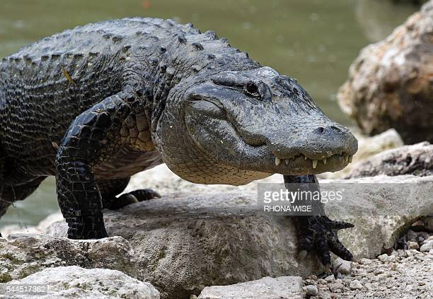 An American Alligator walks out of the alligator lagoon at Everglades Alligator Farm in Homestead Florida on June 24 2016 Florida famed for its...