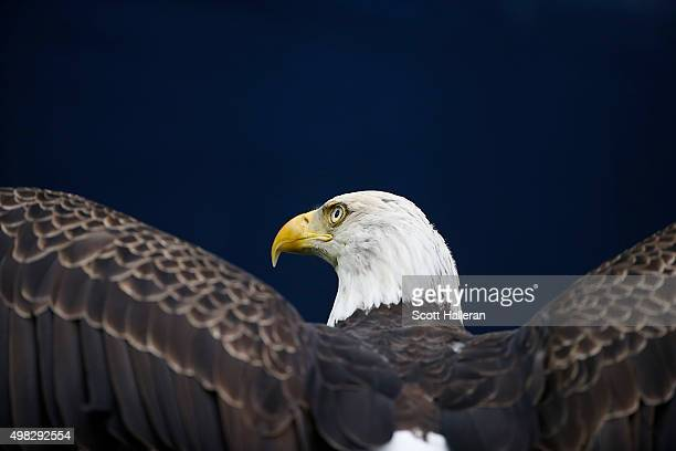 An American Bald Eagle is released before the Houston Texans play the New York Jets on November 22 2015 at NRG Stadium in Houston Texas