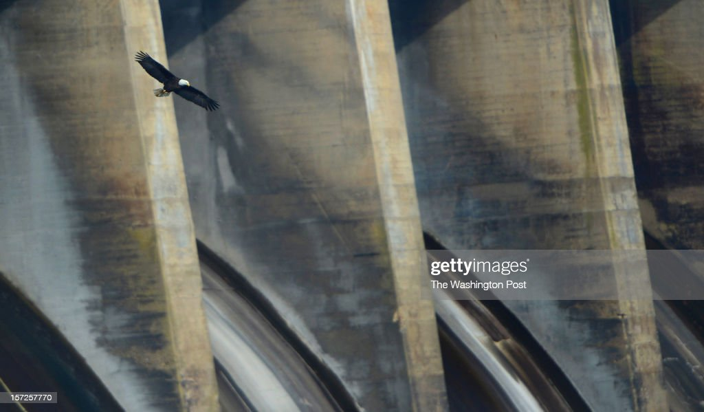 An American bald eagle soars over the prime fishing grounds below Conowingo Dam in Harford County, Maryland on November 29, 2012. On most days between Thanksgiving and into January, the shallow waters becomes a prime spot to watch 20-50 eagles hunt for prey along the Susquehanna river. Fish that are sucked through the dam turbines are easy pickings on the other side for eagles as well as buzzards, crows and seagulls. Once the first cold snaps hit in the north, the eagles migrate south for a few months. Wildlife photographers and bird enthusiasts far outnumber fishermen a the dam these days as they try to capture perfect shots of eagles hunting, mid-air fights and dining on fish. Binoculars or high powered lenses are recommended if you want to see the birds up close. Photo shot with a Nikon 600mm f4 lens with a 1.4 teleconverter.