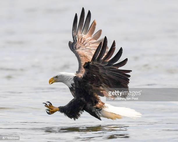 An American Bald eagle swoops in to catch a fish on the Susquehanna river at the base of the Conowingo Dam