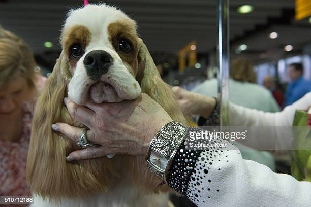 An American Cocker Spaniel is groomed on the second day of the 140th annual Westminster Kennel Club dog show on February 16 2016 in New York City The...