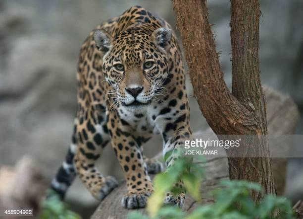 An American Jaguar strolls through its enclosure at Bratislava's Zoo on November 13 2014 AFP PHOTO/JOE KLAMAR