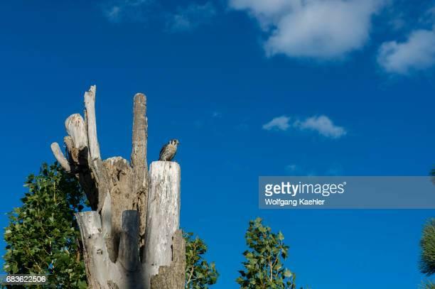 An American kestrel is perched in a tree in Los Glaciares National Park near El Calafate Argentina